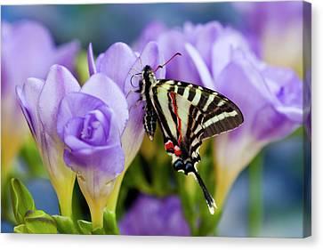 Zebra Swallowtail North American Canvas Print by Darrell Gulin