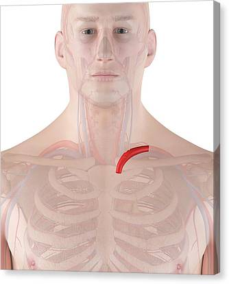 Human Artery Canvas Print