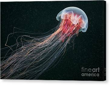 Lions Mane Jellyfish Canvas Print by Alexander Semenov