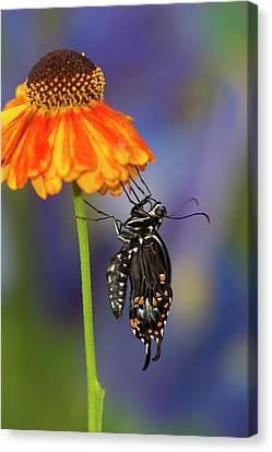 Spicebush Swallowtail Butterfly Canvas Print by Darrell Gulin