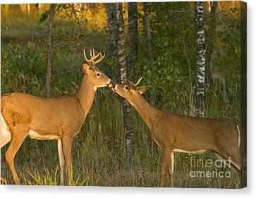 White-tailed Deer Canvas Print by Linda Freshwaters Arndt