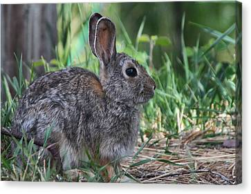 2010 Rabbit Canvas Print