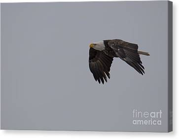 Bald Eagle In Burlington Iowa Canvas Print