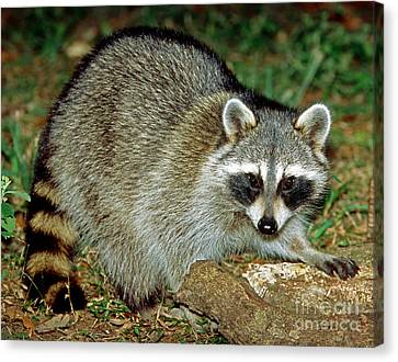 Raccoon Canvas Print by Millard H. Sharp