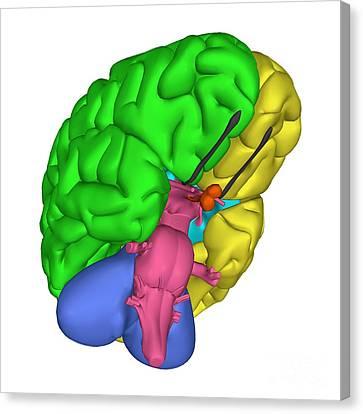 Left Hemisphere Canvas Print - Brain Anatomy by Friedrich Saurer