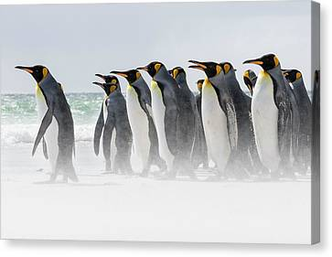 King Penguin (aptenodytes Patagonicus Canvas Print by Martin Zwick