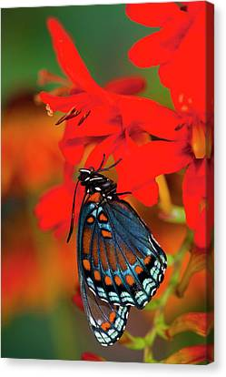 Red-spotted Purple Butterfly, Limenitis Canvas Print