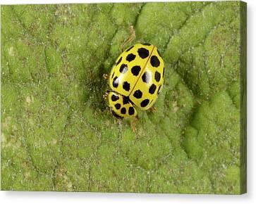 Beetle Canvas Print - 22-spot Ladybird by Nigel Downer