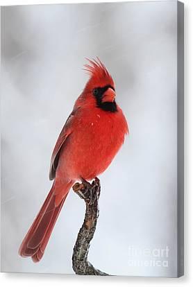 Northern Cardinal Canvas Print by Jack R Brock
