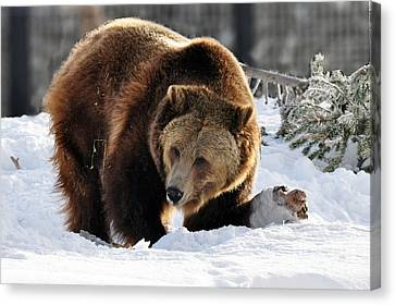229p Grizzly Bear Canvas Print