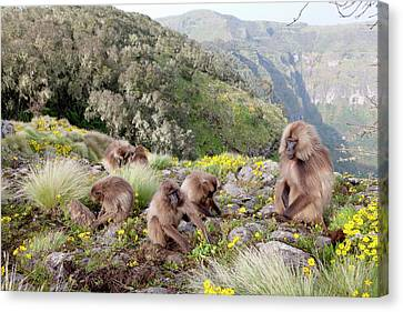Gelada, Gelada Baboon (theropithecus Canvas Print by Martin Zwick