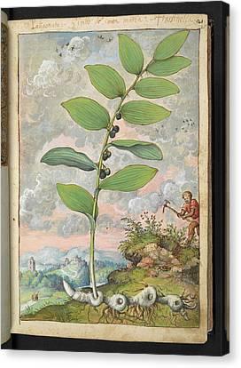 Medicinal Plant Canvas Print