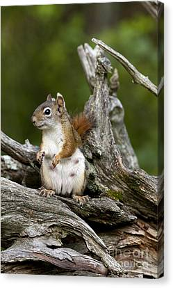 Red Squirrel Canvas Print by Linda Freshwaters Arndt