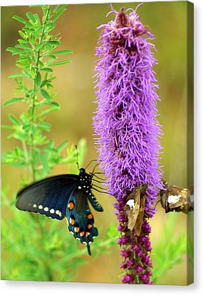 237 Butterfly Canvas Print by Marty Koch