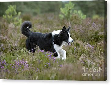 Border Collie Canvas Print by John Daniels