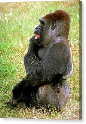 Gorilla Canvas Print - Western Lowland Gorilla by Millard H. Sharp