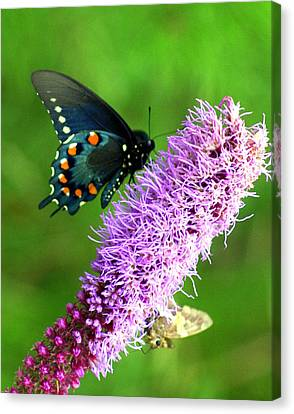 242 Butterly Canvas Print by Marty Koch