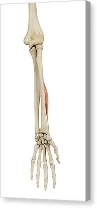 Normal Canvas Print - Human Arm Muscles by Sciepro