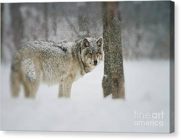 Canvas Print - Timber Wolf Pictures by Michael Cummings