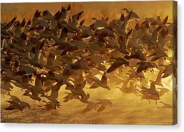 Usa, New Mexico, Bosque Del Apache Canvas Print by Jaynes Gallery