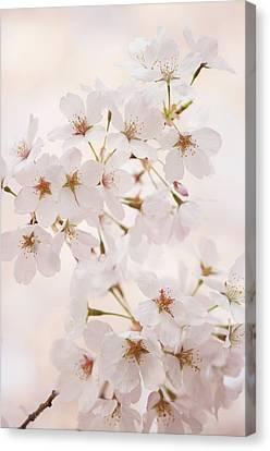 Cherry Blossoms Canvas Print - Yoshino Cherry (prunus X Yedoensis) by Maria Mosolova