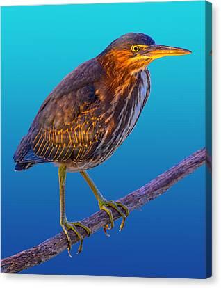 Tropical Bird Postcards Canvas Print - Green Heron by Brian Stevens