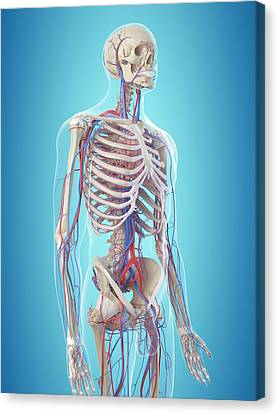 Normal Canvas Print - Human Vascular System by Sciepro