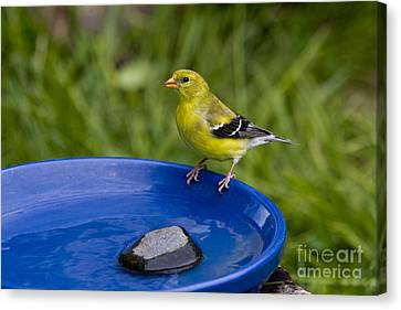 American Goldfinch Canvas Print by Linda Freshwaters Arndt