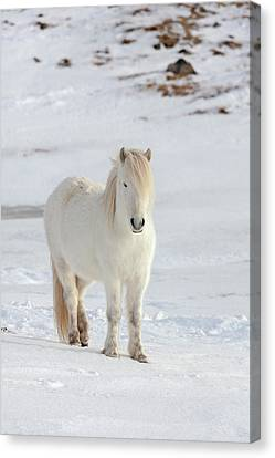 Icelandic Horse With Typical Winter Coat Canvas Print