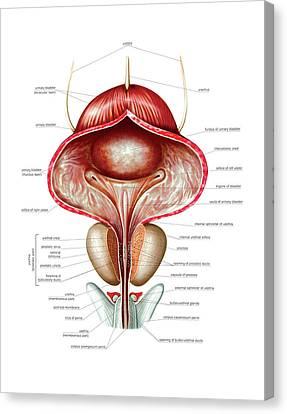 Male Genital System Canvas Print by Asklepios Medical Atlas