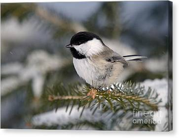 Black-capped Chickadee Canvas Print by Linda Freshwaters Arndt