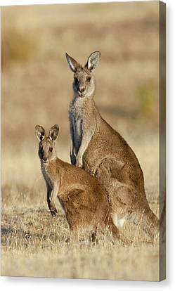 Eastern Grey Kangaroo Or Forester Canvas Print by Martin Zwick