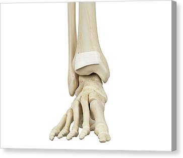 Normal Canvas Print - Human Foot Anatomy by Sciepro
