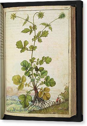 Avens Canvas Print - Medicinal Plant by British Library