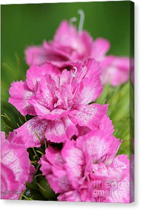 Sweet William From The Super Duplex Bluepoint Mix Canvas Print by J McCombie