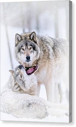 Timber Wolf Pictures Canvas Print by Michael Cummings