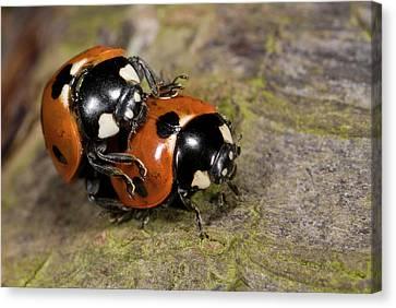 7-spot Ladybirds Canvas Print by Nigel Downer