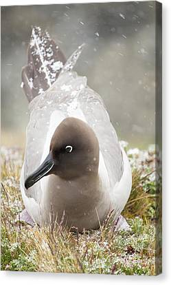 A Light Mantled Albatross Canvas Print