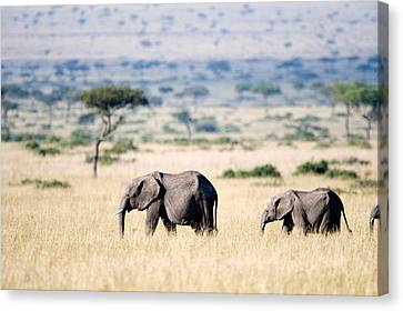 African Elephants Loxodonta Africana Canvas Print by Panoramic Images