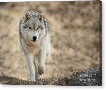 Canvas Print featuring the photograph Arctic Wolf by Wolves Only