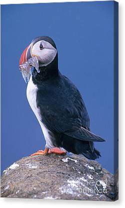 Atlantic Puffin Canvas Print by Art Wolfe