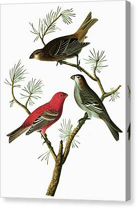 Audubon Grosbeak Canvas Print by Granger