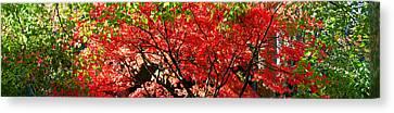 Red Leaf Canvas Print - Autumn Leaves, Westonbirt Arboretum by Panoramic Images