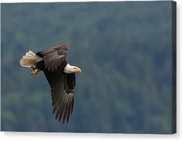 Bald Eagle Canvas Print by Ken Archer