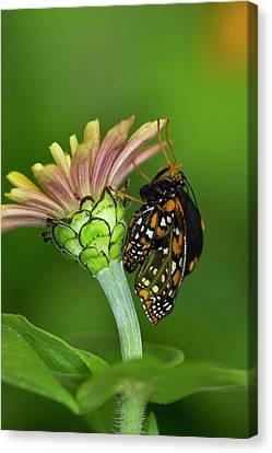 Baltimore Checkered Spot Butterfly Canvas Print by Darrell Gulin