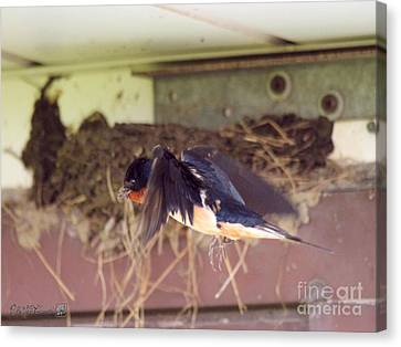 Barn Swallows Constructing Their Nest Canvas Print by J McCombie