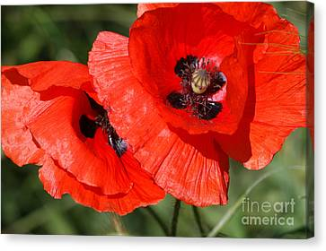 Beautiful Poppies 2 Canvas Print