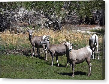 Bison Heard Canvas Print - 3 Bighorn Sheep In A Row by Renee Sinatra