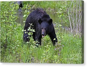 Black Bear Canvas Print by Linda Freshwaters Arndt