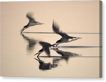 Canvas Print featuring the photograph 3 Black Skimmers  382z3059 by David Orias